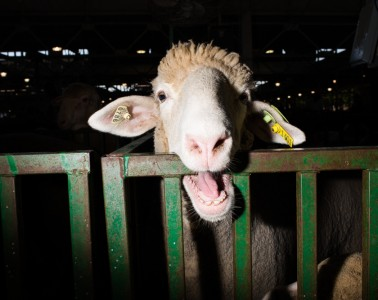 DES MOINES - AUG 14: Sheep from Wisconsin. Scenes from the Fair. United States Presidential candidates campaign on the grounds of the Iowa State Fair on Friday, August 14, 2015, in Des Moines, Iowa. (Photo by Landon Nordeman)